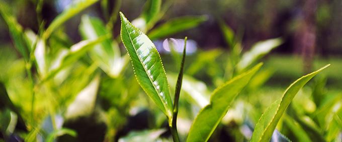 Feuille de thé dans une plantation